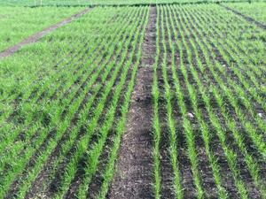 Siembra de praderas y pastos, tipos de siembra de forrajes